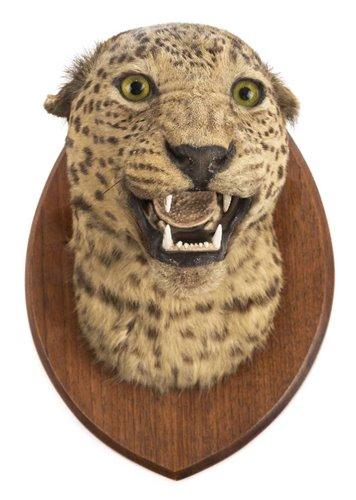Lot 554-Leopard.