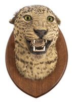 554 - Leopard.