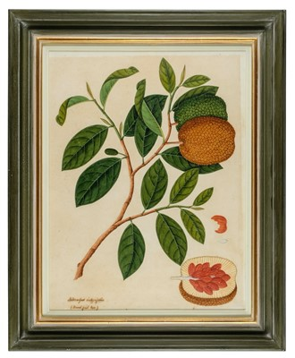 Lot 406-Company School. Artocarpus integrifolius (Bread fruit tree), circa 1815-20