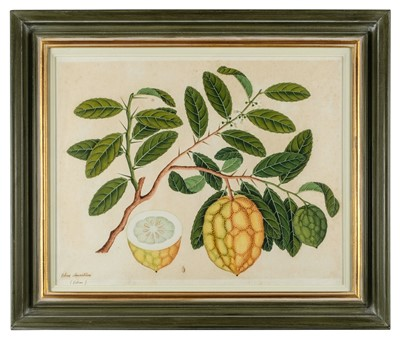 Lot 407-Company School. Citrus Aurantium (Citron), circa 1815-1820