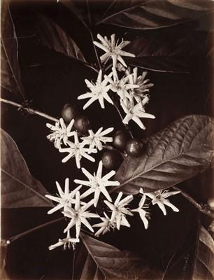 Lot 35-Ceylon. Scowen & Co. A group of 6 botanical studies, c. 1880
