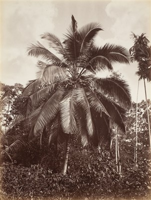 Lot 37-Ceylon. Scowen & Co. A group of 8 tree studies, c. 1880