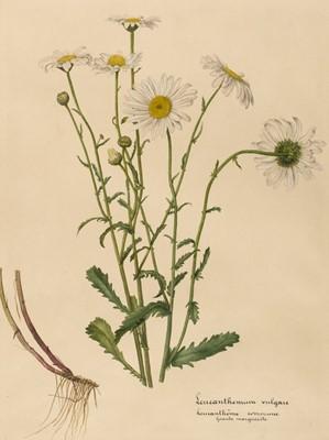 Lot 68 - Botanical study. Leucanthemum vulgare, France, later 19th century