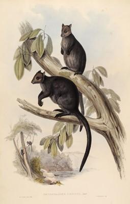 Lot 81 - Gould (John, 1804-1881). Dendrolagus Ursinus & Dendrolagus Inustus, 1845-63