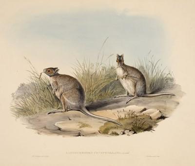 Lot 82 - Gould (John, 1804-1881). Lagorchestes Conspicillata (Spectacled Hare Kangaroo)